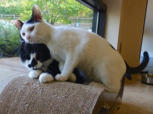 Cersie loves other kitties and people. Cersie is the white kitty, but if he's adopted with his pal (black cat) we will reduce their total adoption by an additional 10%!
