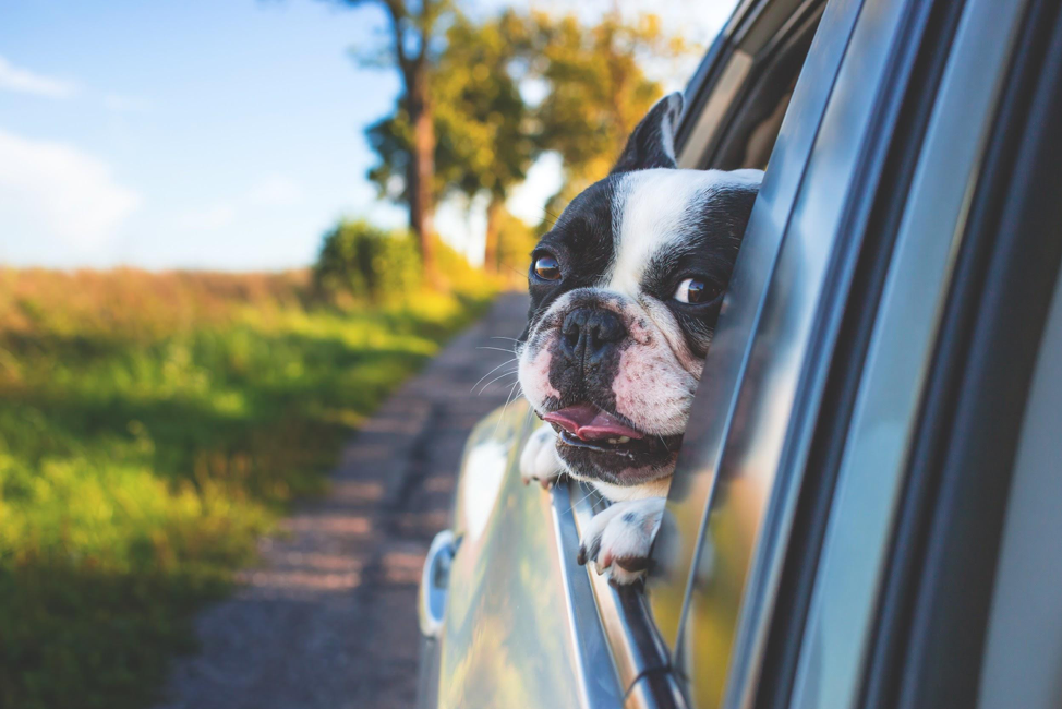 Dog leaning out car window enjoying the breeze